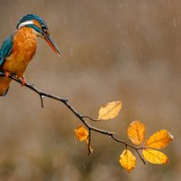 Callan Millennium Trophy for Nature<br>Autumnal Kingfisher by Scott Williams