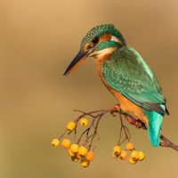 Best Natural History Award - Margaret Beck Shield<br>Kingfisher On Golden Berries by Rae Gold